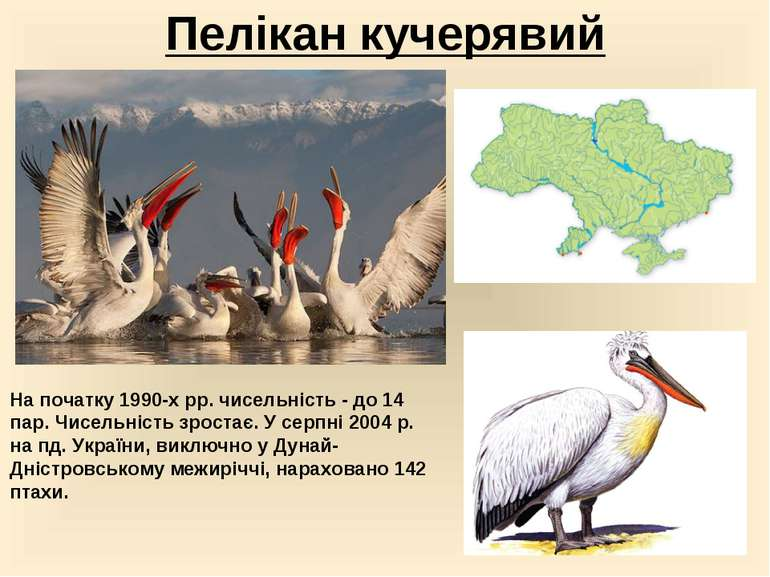 Пелікан кучерявий На початку 1990-х рр. чисельність - до 14 пар. Чисельність ...