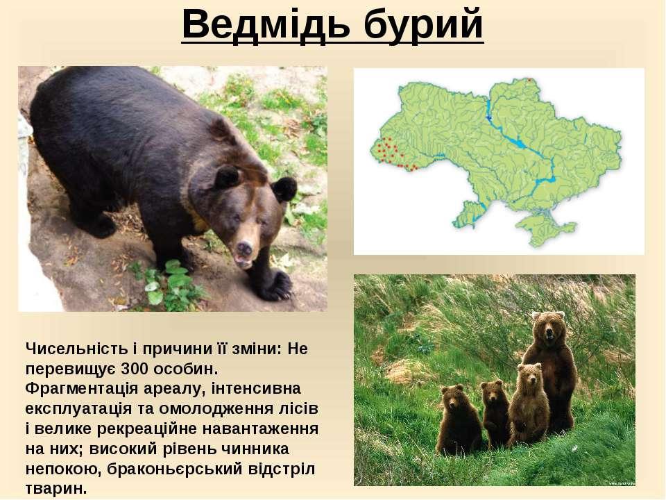 Ведмідь бурий Чисельність і причини її зміни: Не перевищує 300 особин. Фрагме...