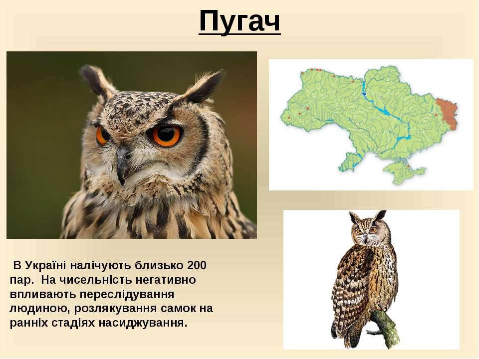 Пугач В Україні налічують близько 200 пар. На чисельність негативно впливаю...