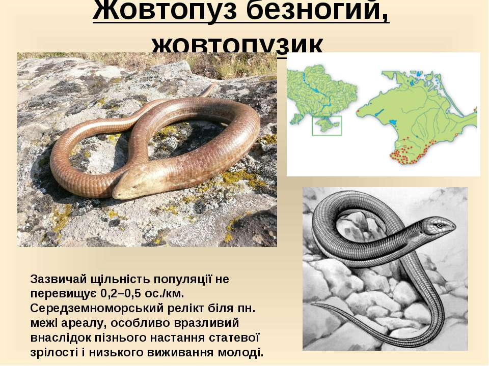 Жовтопуз безногий, жовтопузик Зазвичай щільність популяції не перевищує 0,2–0...