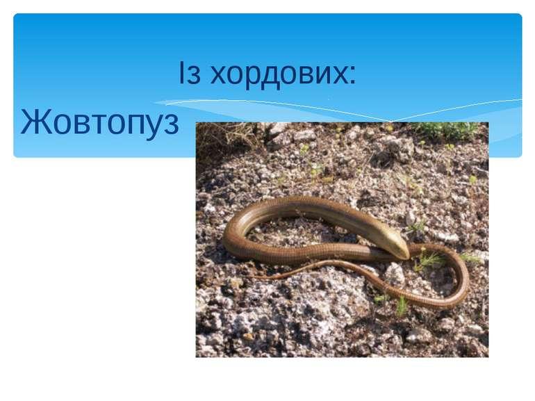 Жовтопуз Із хордових: