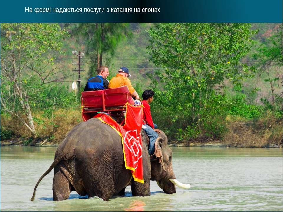 На фермі надаються послуги з катання на слонах
