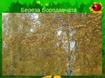 Береза Бородавчата