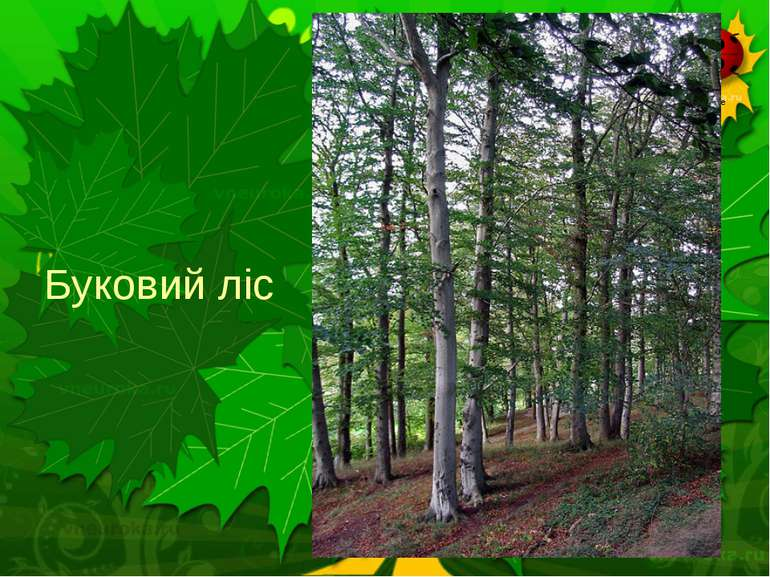 Буковий ліс