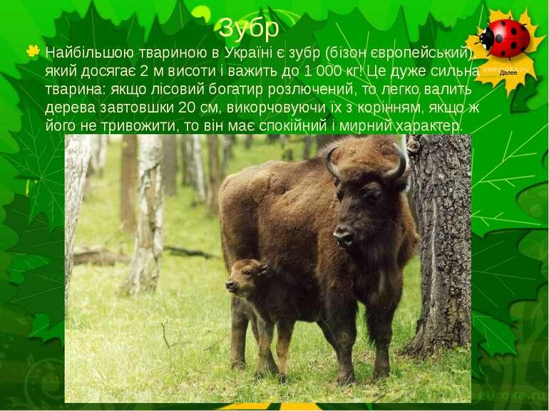 Зубр Найбільшою твариною в Україні є зубр (бізон європейський), який досягає ...