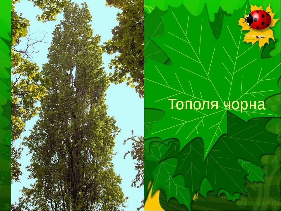 Тополя чорна