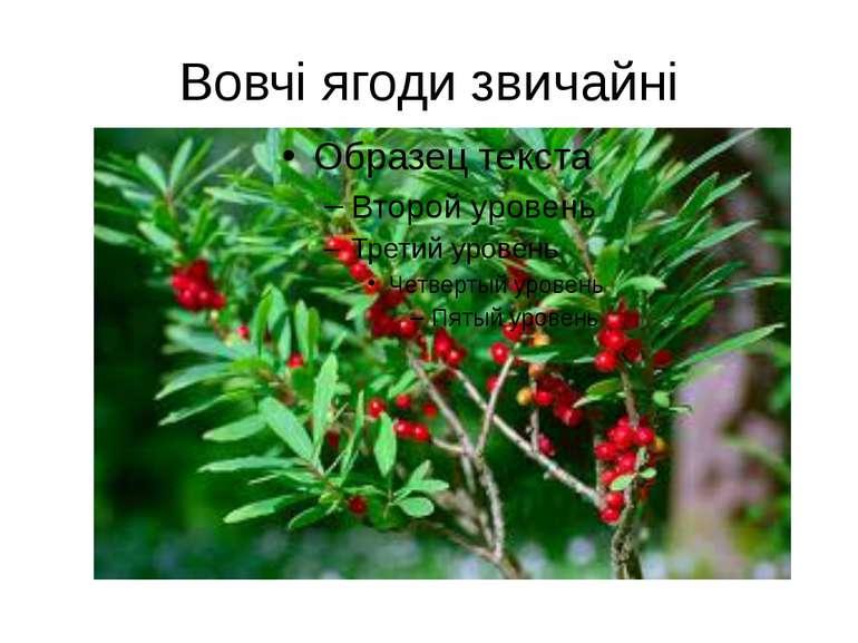 Вовчі ягоди звичайні