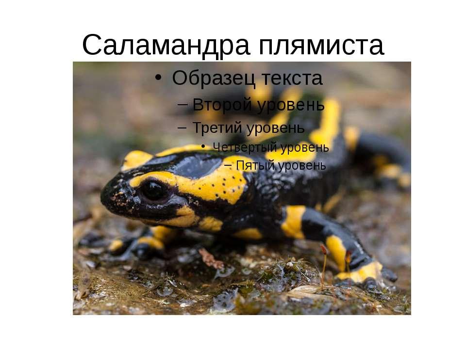 Саламандра плямиста