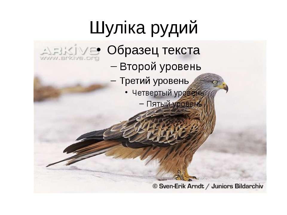 Шуліка рудий