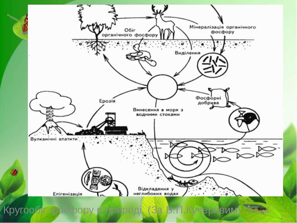 Кругообіг фосфору в природі. (За В.П.Кучерявим)