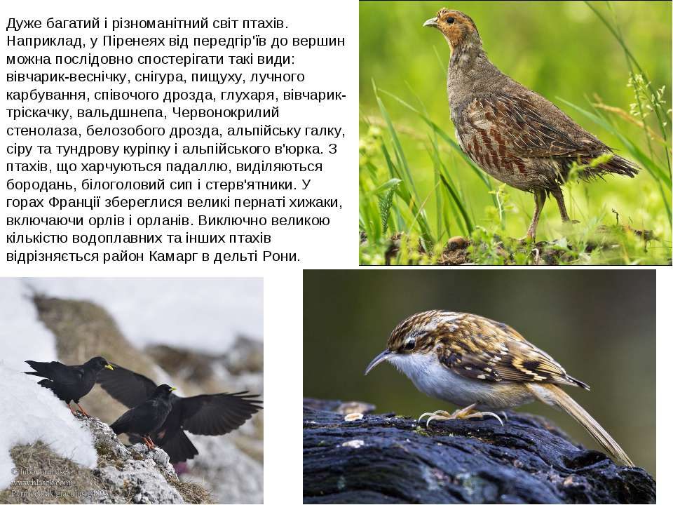 Дуже багатий і різноманітний світ птахів. Наприклад, у Піренеях від передгір'...