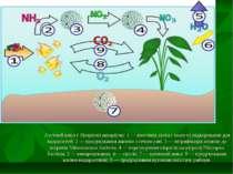 Азотний цикл у біоценозі акваріума: 1 — внесення азота з їжею та підкормками ...