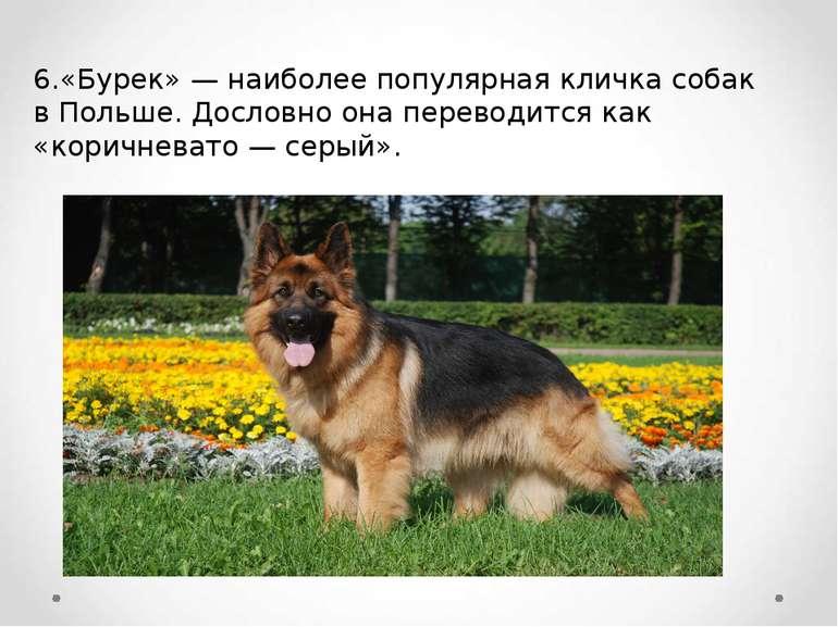 6.«Бурек» — наиболее популярная кличка собак в Польше. Дословно она переводит...