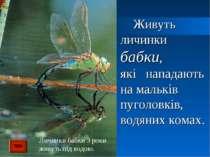 Живуть личинки бабки, які нападають на мальків пуголовків, водяних комах. Лич...