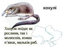 Хохуля поїдає як рослини, так і молюсків, комах п'явок, мальків риб. хохулі