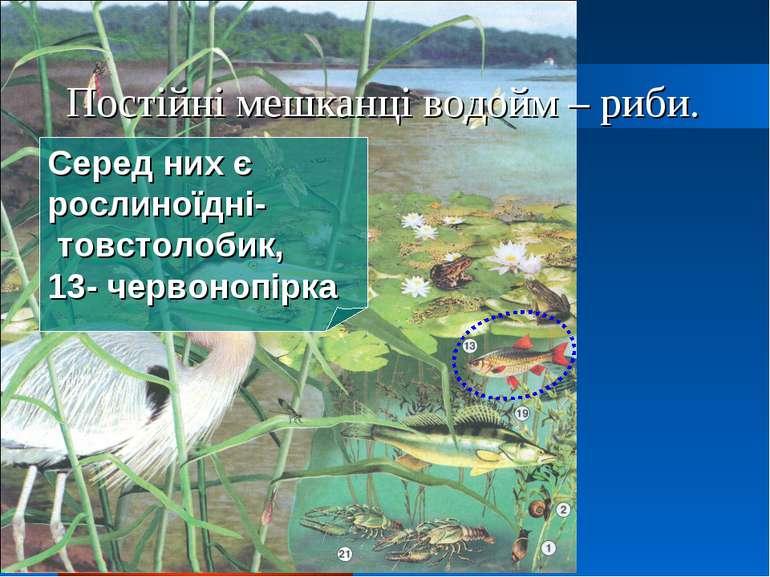 Постійні мешканці водойм – риби. Серед них є рослиноїдні- товстолобик, 13- че...