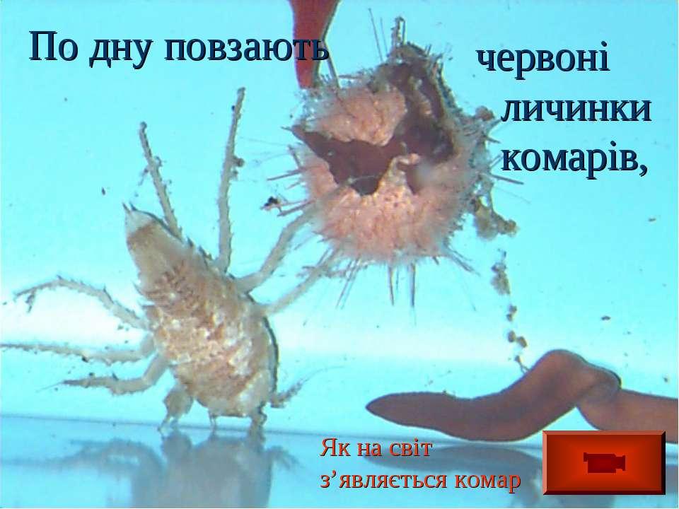По дну повзають червоні личинки комарів, Як на світ з'являється комар
