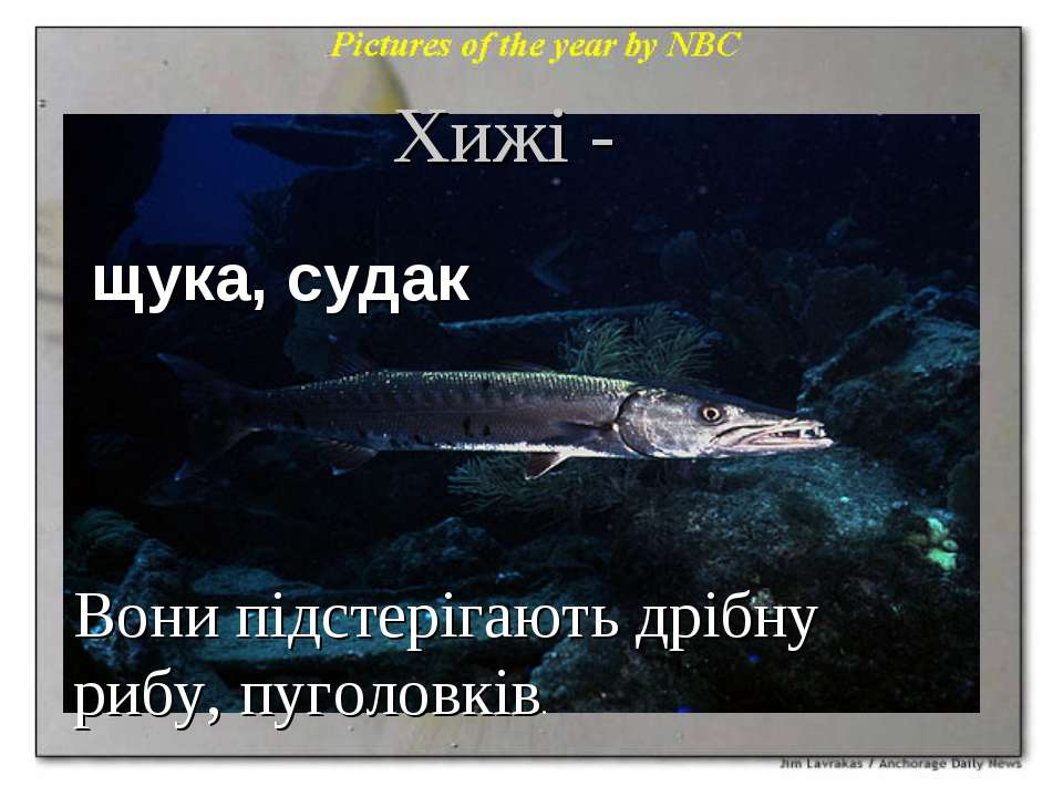 Хижі - щука, судак Вони підстерігають дрібну рибу, пуголовків.
