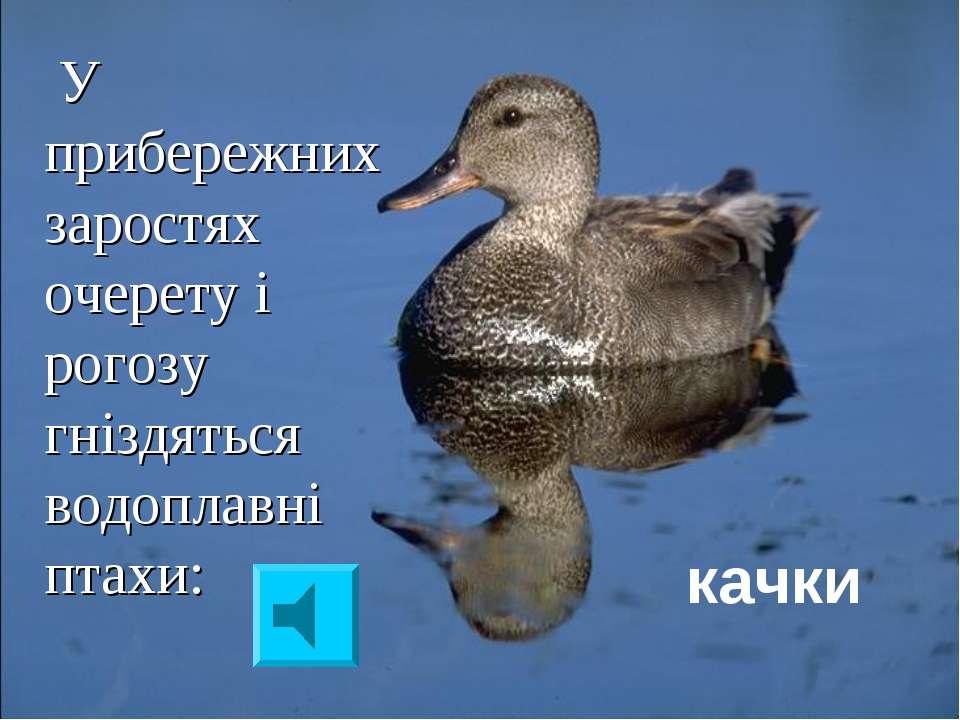 У прибережних заростях очерету і рогозу гніздяться водоплавні птахи: качки