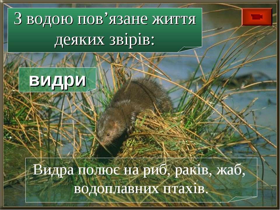 Видра полює на риб, раків, жаб, водоплавних птахів. З водою пов'язане життя д...