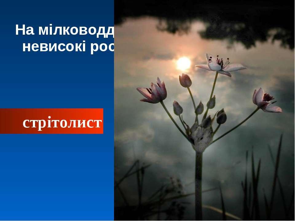 На мілководді біля берега ростуть невисокі рослини: стрітолист