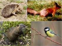 |У соснових лісах (борах) тваринний світ значно бідніший. Тут поширені лисиця...