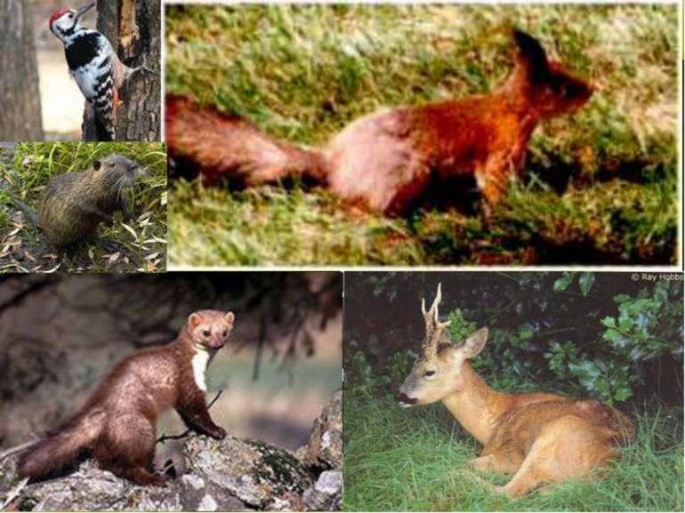 |У широколистяних лісах, що в околицях Києва, тваринний світ дуже різноманітн...