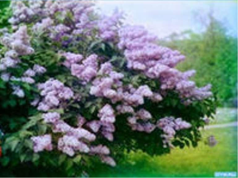 |Учені збагачують рослинний світ окремих територій. У ботанічних садах Києва ...