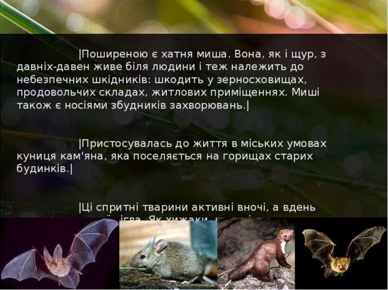 |Поширеною є хатня миша. Вона, як і щур, з давніх-давен живе біля людини і те...