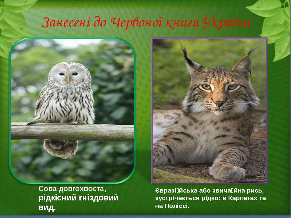 Занесені до Червоної книги України Сова довгохвоста, рідкісний гніздовий вид....