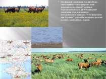 Біосферний заповідникАсканія-Нова- унікальний куточок природи, який знаходи...