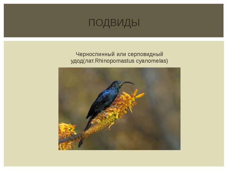 ПОДВИДЫ Черноспинный или серповидный удод(лат.Rhinopomastus cyanomelas)