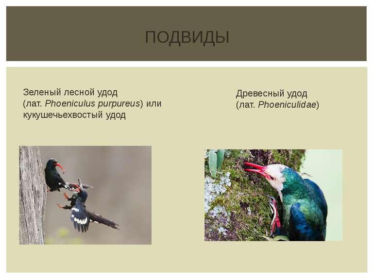 ПОДВИДЫ Зеленый лесной удод (лат.Phoeniculus purpureus) или кукушечьехвостый...