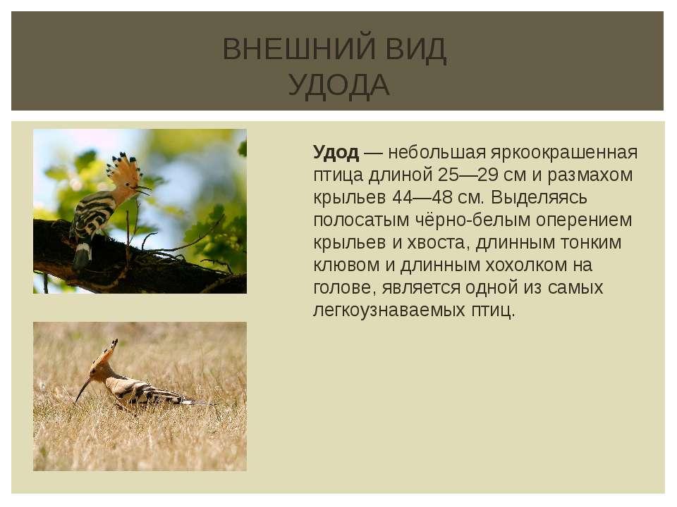ВНЕШНИЙ ВИД УДОДА Удод — небольшая яркоокрашенная птица длиной 25—29см и раз...