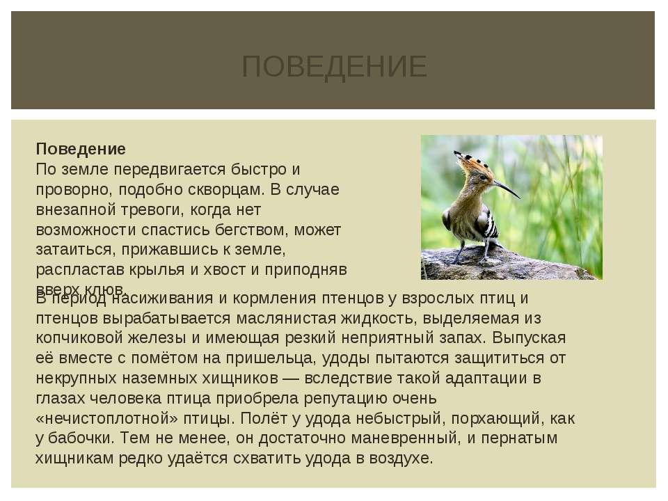 ПОВЕДЕНИЕ В период насиживания и кормления птенцов у взрослых птиц и птенцов ...