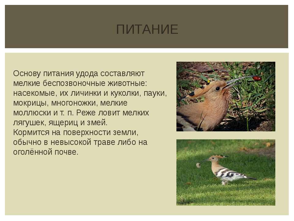 ПИТАНИЕ Основу питания удода составляют мелкие беспозвоночные животные: насек...