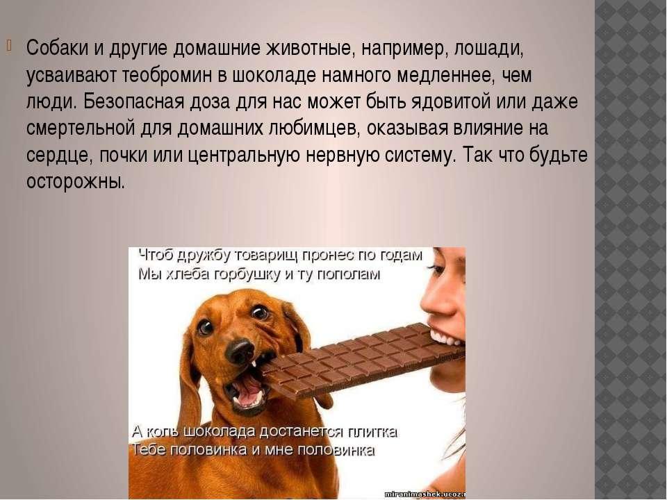 Собаки и другие домашние животные, например, лошади, усваивают теобромин в шо...