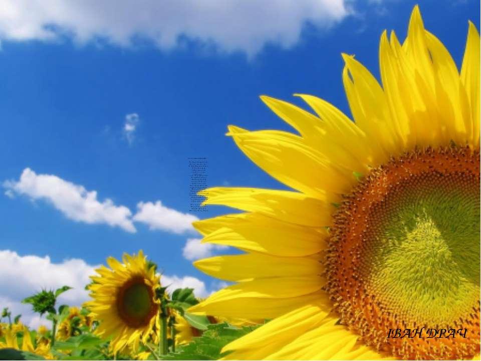 БАЛАДА ПРО СОНЯШНИК В соняшника були руки і ноги, Було тіло, шорстке і зелене...