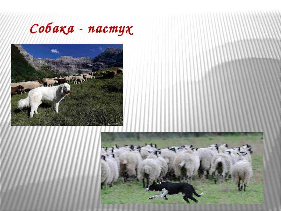 Собака - пастух