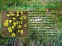 Цмин піщаний (безсмертник) Рослина мiстить рiзнi бiологiчно активнi речовини,...