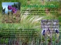 Сон-трава (простріл) Сон-трава – допомагає бачити віщі сни. Квітку сушать і к...