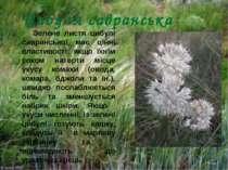Цибуля савранська Зелене листя цибулі савранської має цінні властивості: якщо...