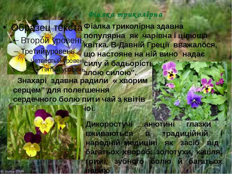Фіалка триколірна Фіалка триколірна здавна популярна як чарівна і цілюща квіт...
