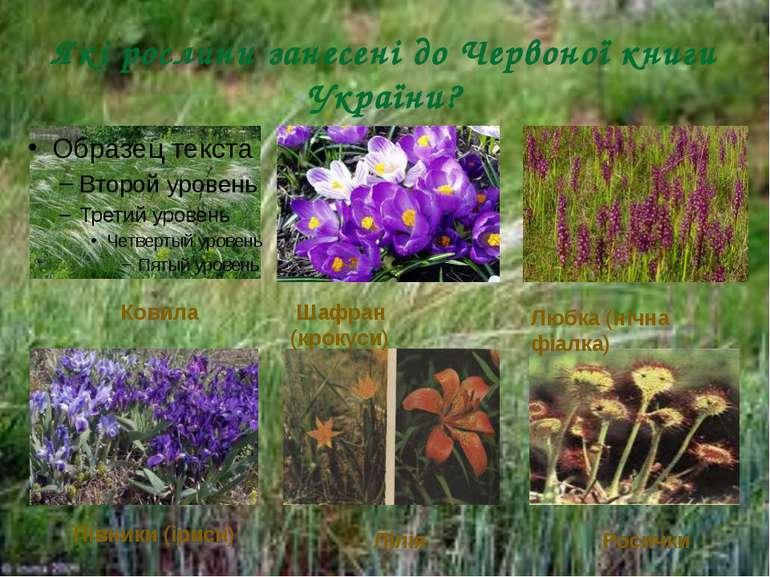 Які рослини занесені до Червоної книги України? Шафран (крокуси) Росички Півн...