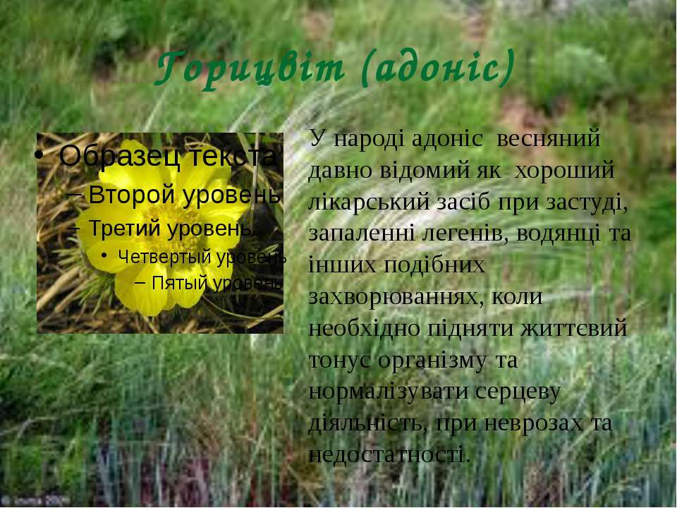 Горицвіт (адоніс) У народі адоніс весняний давно відомий як хороший лікарськи...