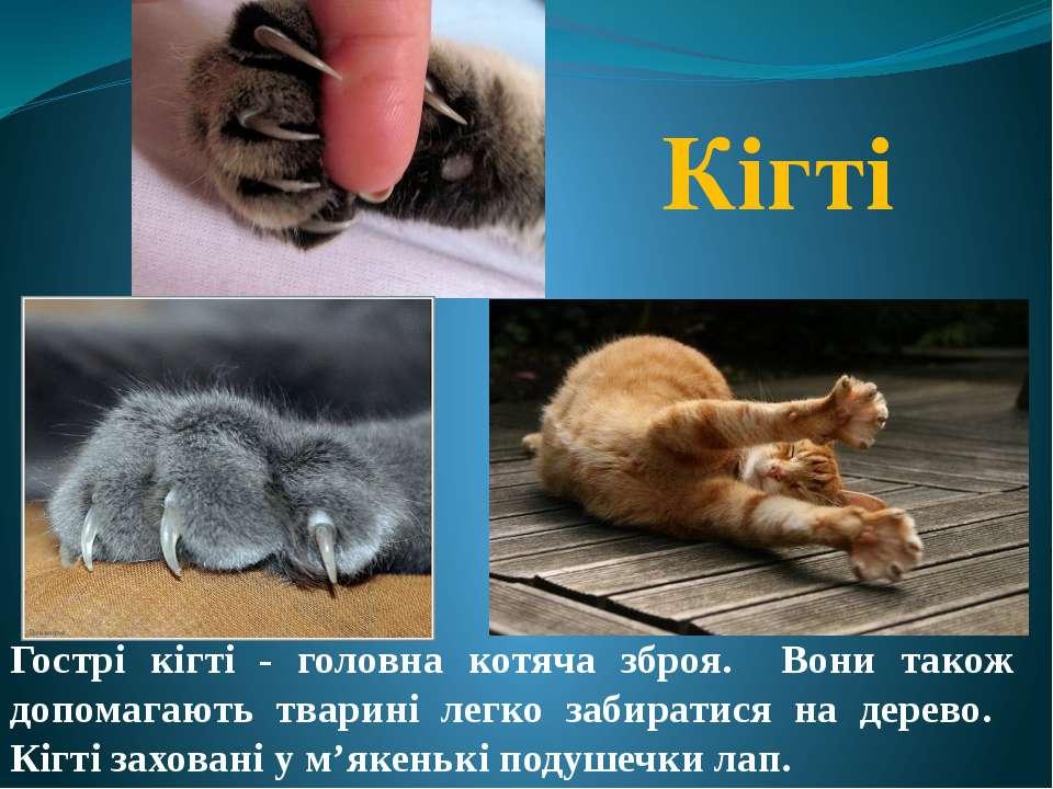 Кігті Гострі кігті - головна котяча зброя. Вони також допомагають тварині лег...
