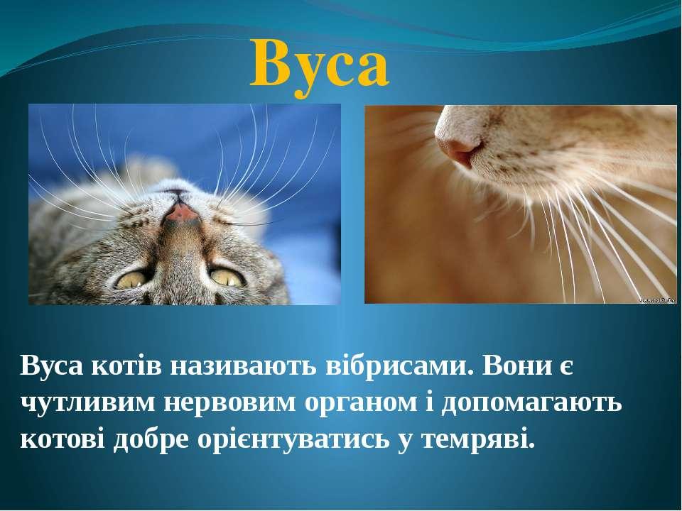 Вуса Вуса котів називають вібрисами. Вони є чутливим нервовим органом і допом...