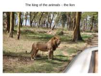 The king of the animals – the lion