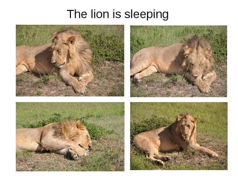 The lion is sleeping