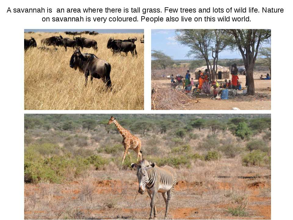 A savannah is an area where there is tall grass. Few trees and lots of wild l...